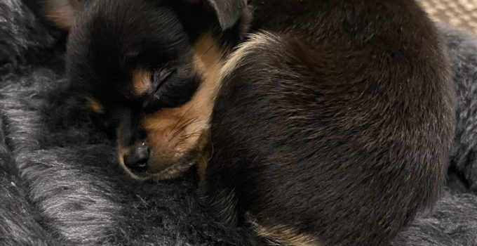 Pineranian Dog Breed Information All You Need To Know