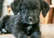 Pinny-Poo Dog Breed Information – All You Need To Know
