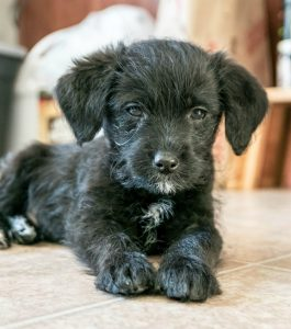 Pinny Poo Dog Breed Information All You Need To Know
