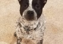 Pit Heeler Dog Breed Information – All You Need To Know