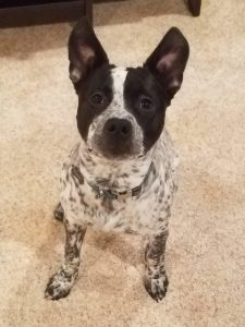 Pit Heeler Dog Breed Information All You Need To Know