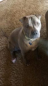 Pit Pei Dog Breed Information All You Need To Know