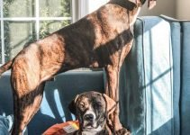 Plott Hound Dog Breed Information – All You Need To Know