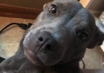 Pocket Pitbull Dog Breed Information – All You Need To Know