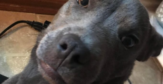 Pocket Pitbull Dog Breed Information All You Need To Know