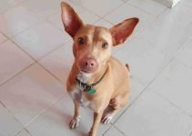Podenco Canario Dog Breed Information – All You Need To Know