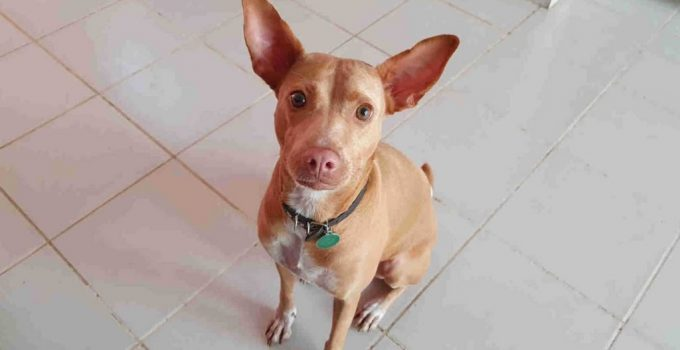 Podenco Canario Dog Breed Information All You Need To Know