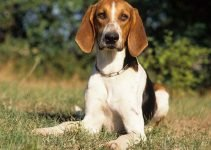 Poitevin Dog Breed Information – All You Need To Know