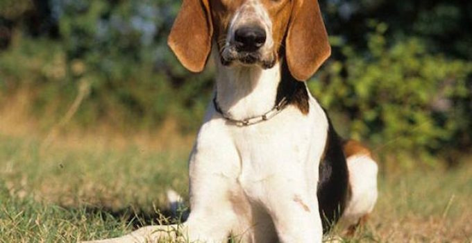 Poitevin Dog Breed Information All You Need To Know