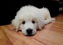 Polish Tatra Sheepdog Dog Breed Information – All You Need To Know