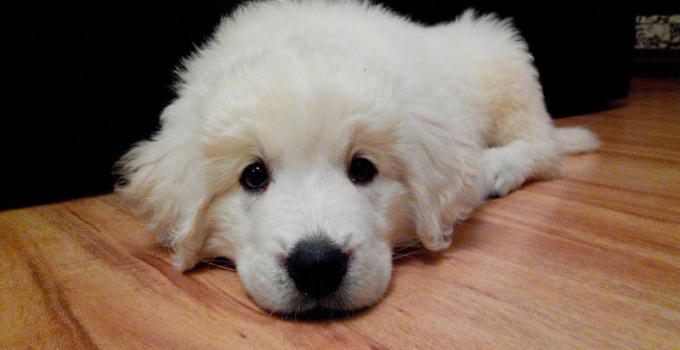 Polish Tatra Sheepdog Dog Breed Information All You Need To Know