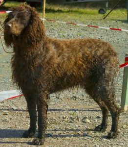 Pont Audemer Spaniel Dog Breed Information All You Need To Know