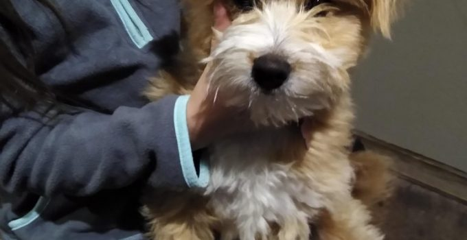 Poo Shi Dog Breed Information All You Need To Know