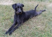 Pootalian Dog Breed Information – All You Need To Know