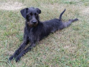 Pootalian Dog Breed Information All You Need To Know