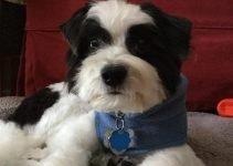 Pom-A-Nauze Dog Breed Information – All You Need To Know