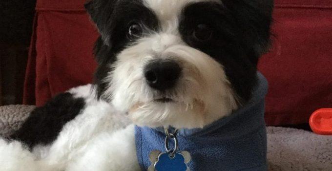 Pom A Nauze Dog Breed Information All You Need To Know