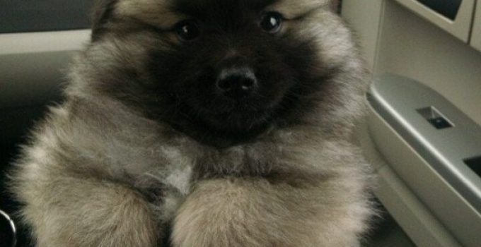Pom Kee Dog Breed Information All You Need To Know
