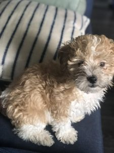 Pomapoo Dog Breed Information All You Need To Know