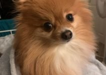 Pomchi Dog Breed Information – All You Need To Know