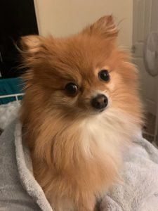 Pomchi Dog Breed Information All You Need To Know