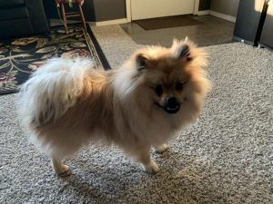 Pomerat Dog Breed Information All You Need To Know