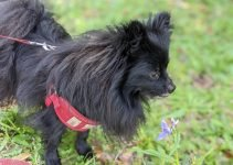 Pomston Dog Breed Information – All You Need To Know