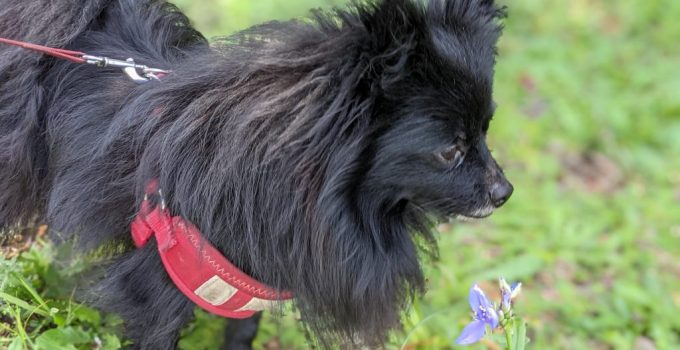 Pomston Dog Breed Information All You Need To Know