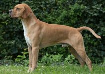 Portuguese Pointer Dog Breed Information – All You Need To Know