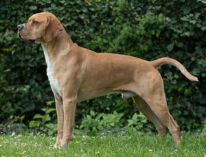 Portuguese Pointer Dog Breed Information All You Need To Know