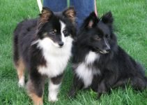 Poshies Dog Breed Information – All You Need To Know