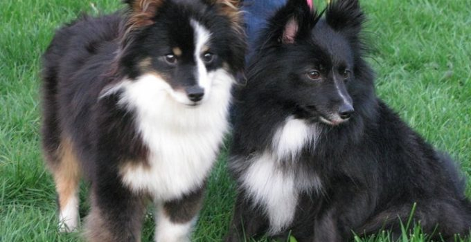 Poshies Dog Breed Information All You Need To Know