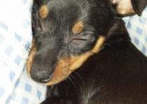 Prazsky Krysarik Dog Breed Information – All You Need To Know