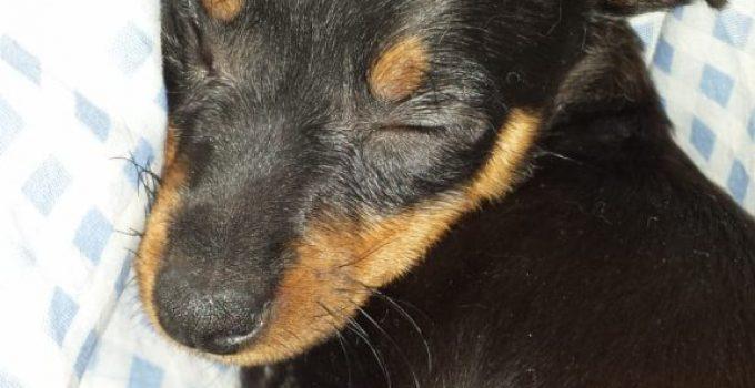 Prazsky Krysarik Dog Breed Information All You Need To Know