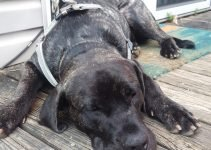 Presa Bulldog Dog Breed Information – All You Need To Know