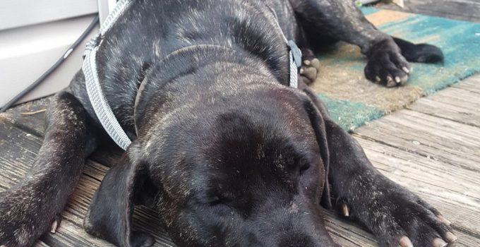 Presa Bulldog Dog Breed Information All You Need To Know