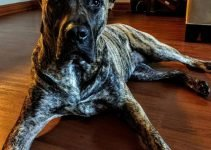 Presa Dane Dog Breed Information – All You Need To Know