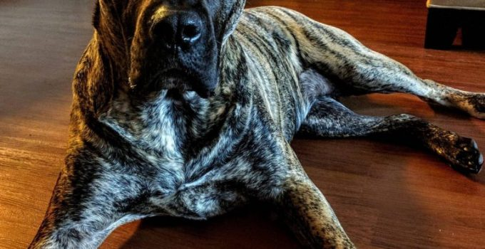 Presa Dane Dog Breed Information All You Need To Know