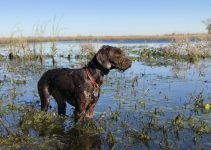 Pudelpointer Dog Breed Information – All You Need To Know