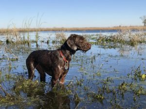 Pudelpointer Dog Breed Information All You Need To Know