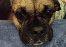 Pug Pit Dog Breed Information – All You Need To Know