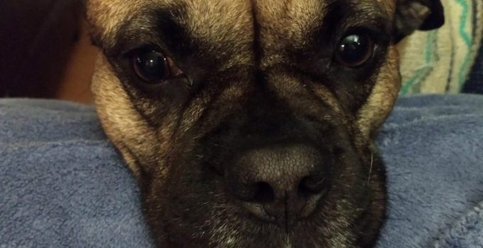 Pug Pit Dog Breed Information All You Need To Know