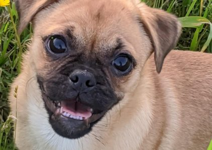 Pug Zu Dog Breed Information All You Need To Know