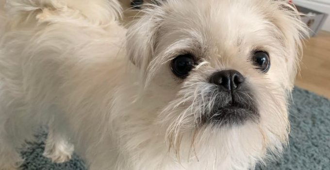 Pugairn Dog Breed Information All You Need To Know