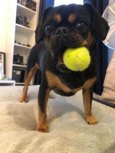 Pugalier Dog Breed Information All You Need To Know