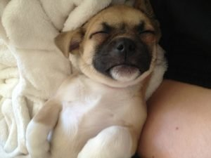 Puggat Dog Breed Information All You Need To Know