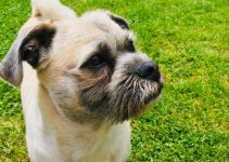Pushon Dog Breed Information – All You Need To Know