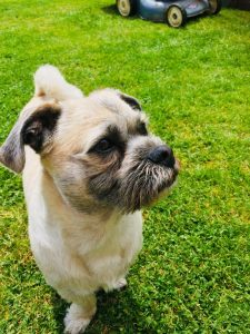 Pushon Dog Breed Information All You Need To Know