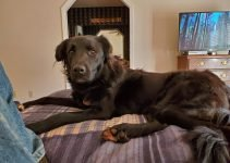 Pyrador Dog Breed Information – All You Need To Know