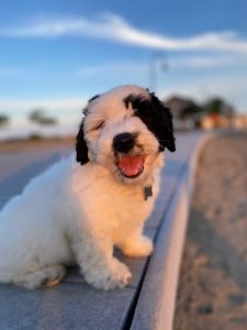 Pyredoodle Dog Breed Information All You Need To Know